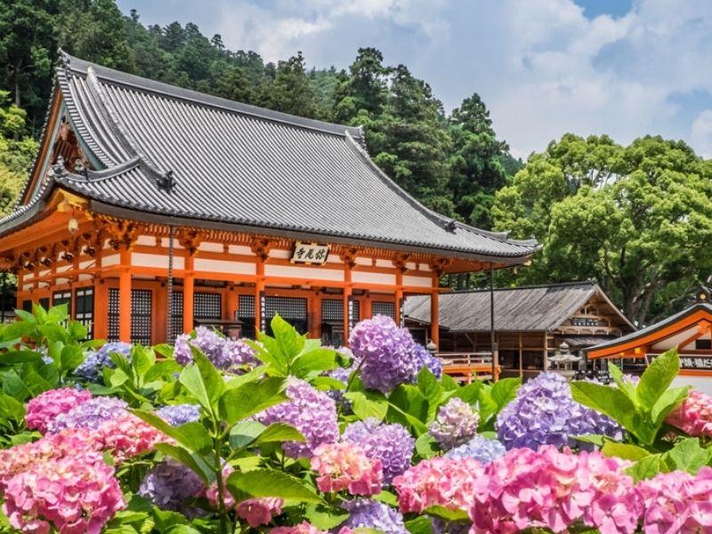 Hoa cẩm tú cầu ở chùa Katsuoji